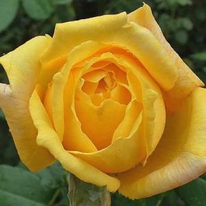 台風の雨に咲くトロピカルシャーベット、ケント姫、オデュッセイアなど11品種@開花待ちバラのつぼみ