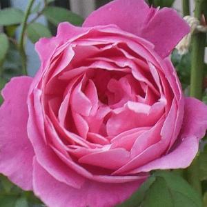 台風一過のバラ、シャンテロゼミサト、天使の香、エルトゥールルなど11品種@開花直前バラの蕾