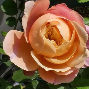 オリジナルの「香るバラ」、ベラドンナ、ブルームーンストーン、感謝、ラフランスなど11品種