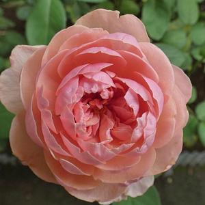 深い花形ジアレンウィックローズ、芳純、ソフィーズパーペチュアルなど@つるバラの仮誘引作業の続き