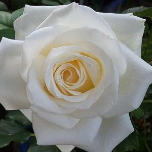 今日咲いてるバラ~白バラの麟(リン)、クレアオースチンなど@台風対策開始
