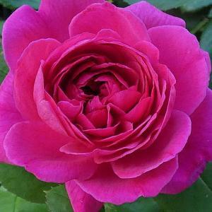 今日咲いてるバラ~エルトゥールル、シカゴピース、ジュリア、ザウエッジウッドローズなど