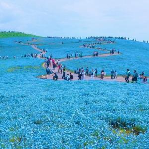 猛暑日には涼しいネフィモラ@春のバラ9番目はアルシデュック・ジョゼフ@台風でバラの花全滅