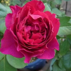 傷んでますが今日咲いてるバラ~ベルベティトワイライト、シカゴピース、ローズポンパドゥールなど