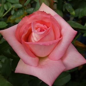 今日咲いてるバラ~芳純、スイートジュリエット、ルージュピエール、ルイ十四世など