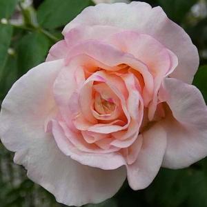秋剪定後のバラ~エリアーヌジレ、香純、感謝、クリスティアーナ、クロードモネなど