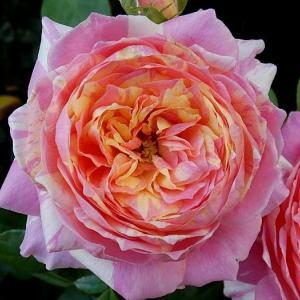 今日のベストローズ「クロード・モネ」@春バラを数年遡ってみる「エルモサ」
