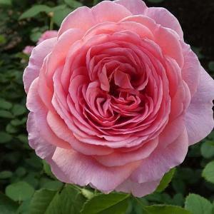今日のベストローズ「プリンセスアレキサンドラオブケント」@春バラを遡る「ゼフィリーヌドルーアン」
