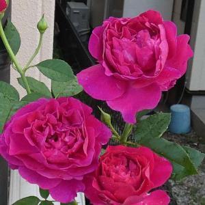 今日のバラ「ベルベティ・トワイライト」@春バラを数年遡ってみる「メアリー・ローズ」