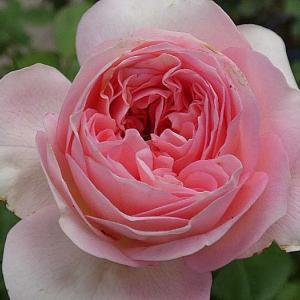 秋の気配を感じる今日咲いてるバラ~ギイドゥモーパッサン、クロードモネなど11品種