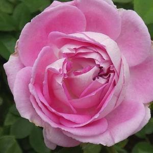 今日咲いた秋のバラ、パヴィヨンドゥプレイニー、イヴピアジェ、エルトゥールル、パディマグレディ、かおり ほか