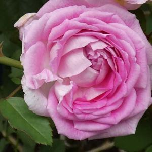 雨粒が残ったバラ、パヴィヨンドゥプレイニー、パパメイアン、ルイ十四世、ボレロ ほか