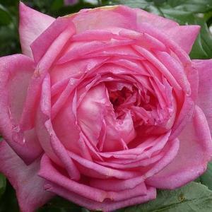 雨水いっぱいのバラ~ラローズドゥモリナール、イリオス、グラウンブルー