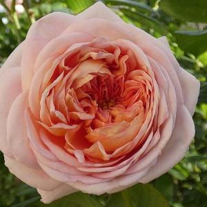 今日咲いてるバラ~アブラハムダービー、夜の調べ、マクミランナース など