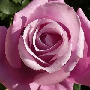 今日のバラから、シャルルドゥゴール、ナエマ、フランシスデュブリュイ、麟、結愛など