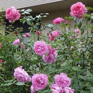陽当たり良好の東側の庭から、チャンピョンオブザワールド、ラローズドゥモリナールなど