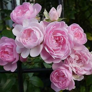 今日咲いてるバラ、ザフェアリー、エルモサ、みやこ、ルージュロワイヤルなど