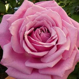 秋初めての開花「夢紫」@今日咲いてるバラ、エルトゥールル、パパメイアン、オフィーリアなど