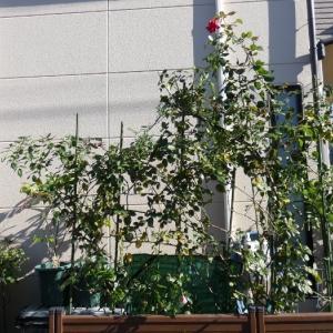 西側庭つるバラ3品種の剪定・誘引@今年のバラまとめ、和バラの「あおい」
