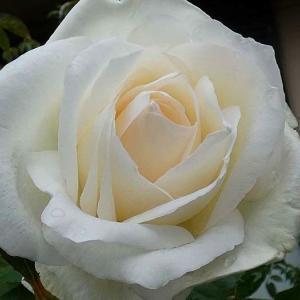 降り続く雨に咲くバラ、感謝、ザウエッジウッドローズ、天使の香など