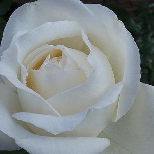 ひと月早い開花ホワイトクリスマス、天使の香、フレグラントヒルなど@クリスマスローズの初開花