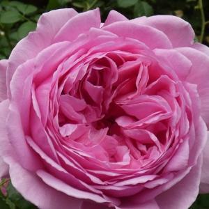 ピンク色のバラ揃い、ケント姫、クラウディアなど@ジャングルになった庭@交配種、種まき準備