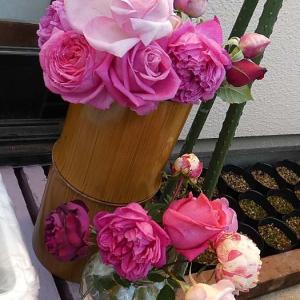 アヴェマリア、クロードモネ、夢紫など@摘み取ったバラの蕾と花@交配した種まき終了