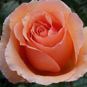 フレグラントアプリコット、ルイ十四世、摘んだバラの蕾@今年のバラまとめ8番目「イリオス」