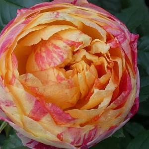 西側庭のバラ冬剪定@今年のバラまとめ16番目「かおり」