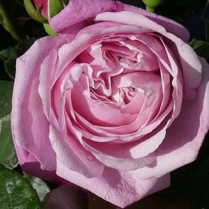 今年のバラまとめ34番目は、バラ色の歌ミサト「シャンテロゼミサト」