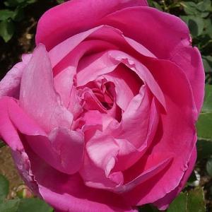 2019年のバラまとめ44番目は、ソフトピンク色の「セント・スウィザン」