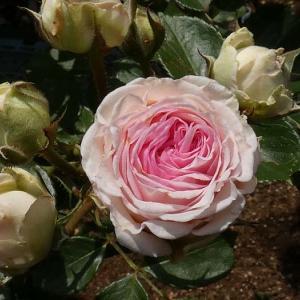 2019年のバラまとめ49番目は「つる・ミミエデン」@マダムアントワーヌマリの庭植え