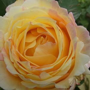 2019年のバラまとめ67番目は桃のお菓子「ペッシュボンボン」@割れてきたバラの初蕾