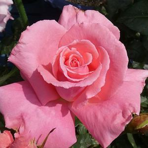 2019年のバラまとめ71番目は香りのバラの代名詞「芳純」@バラの芽吹き