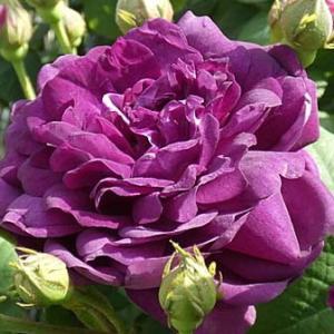 バラの初開花4品種、計69品種@大きくなったオールドローズの初蕾