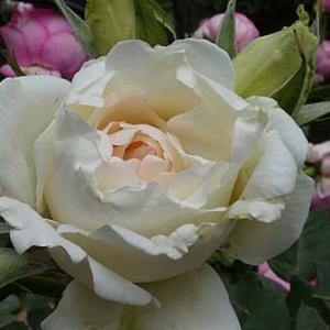 バラの初蕾「感謝」など6品種計75品種