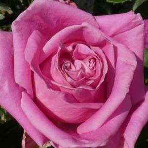 割れ始めた蕾、緑濃いバラ庭@初蕾は4品種、計88品種