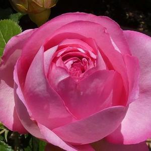 バラの初開花は、8品種計76品種~ロゼ・ピエール、カマクラなど@北の鉢置き場から