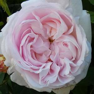 バラの初開花は、4品種計85品種~ジュノー、クロードモネ、感謝など@きれいに咲いたバラ