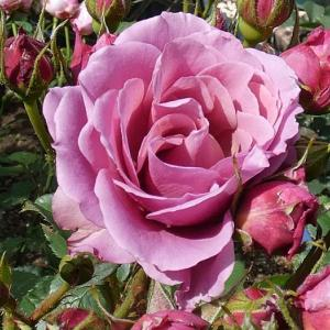 バラの初開花は、6品種計93品種~あおい、アブラハムダービー、アンジェラなど
