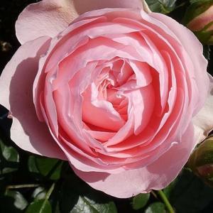 バラの初開花は、5品種計98品種~ギイドゥモーパッサン、イリオス、クラウディアなど