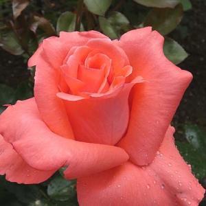 バラの初開花は、9品種計107品種~アヴェマリア、エルトゥールル、かおり など