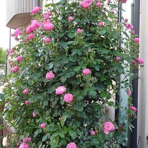バラの初開花は、6品種計113品種~イヴピアジェ、奈和ちゃん、羽衣など@開花後3日目のアンジェラ