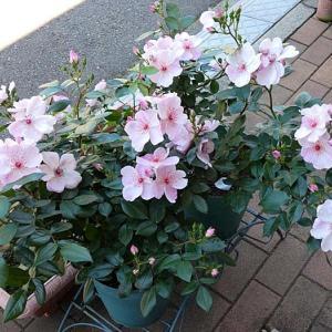 玄関わきでお迎え「ピンクサクリーナ」@花色のバラ庭@今日のアンジェラ