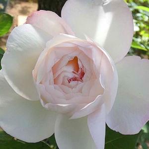 バラの初開花は、2品種計116品種@紅バラ~サントゥールロワイヤル、ルージュピエール