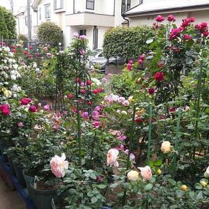 今日のアンジェラと夢乙女@朝早いバラ庭@バラの初開花は、4品種計120品種