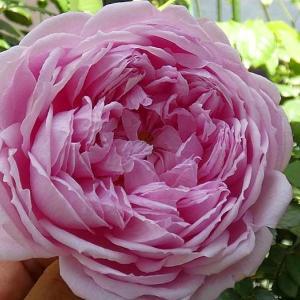 バラの初開花は、4品種計124品種@まだ咲かない遅咲きバラ