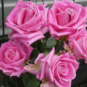 雨の中のバラ、クラウディア、クロードモネ、ジュードジオブスキュア@早くも二番花の蕾