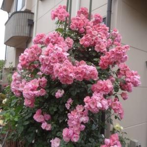 アンジェラの花ガラ摘みと剪定@お客さんの選んだバラ~アマンディーンシャネルなど