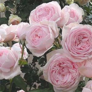 花もちの良いナエマ、ピエールドゥロンサール@二番花の咲き始め@南道路から眺めるバラ庭